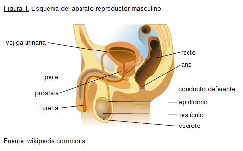 dolor en la parte inferior del abdomen en la ingle dolor de próstata